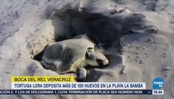 Tortuga Lora Deposita Huevos Playa Veracruz