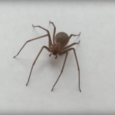 Urge en hospital de México antídoto para bebé picado por una araña violinista