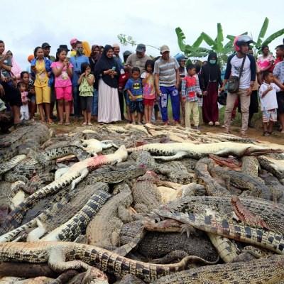 Turba mata a 292 cocodrilos para vengar la muerte de un vecino en Indonesia