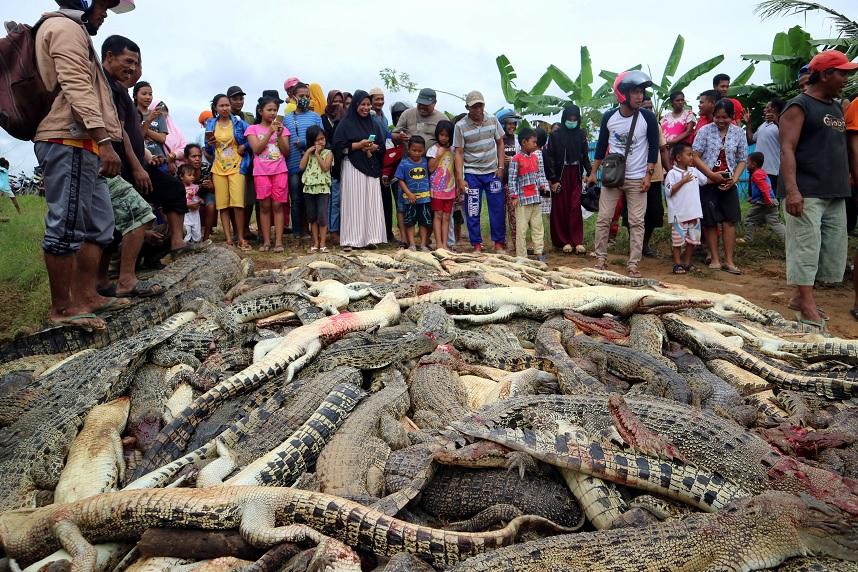 Turba mata a 292 cocodrilos para vengar la muerte de vecino