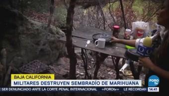 Militares Destruyen Sembradío Marihuana Baja California