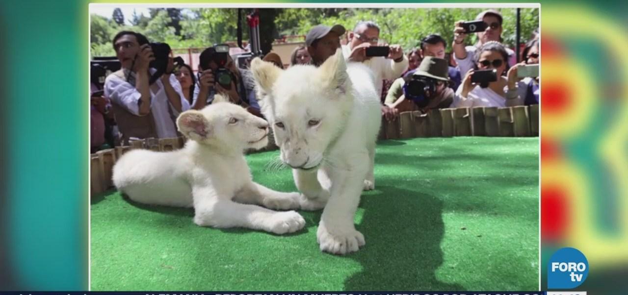Nacen leones blancos gemelos en Tlaxcala