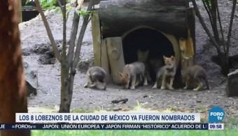 Extra Extra: Nombran a los lobeznos que nacieron en la CDMX