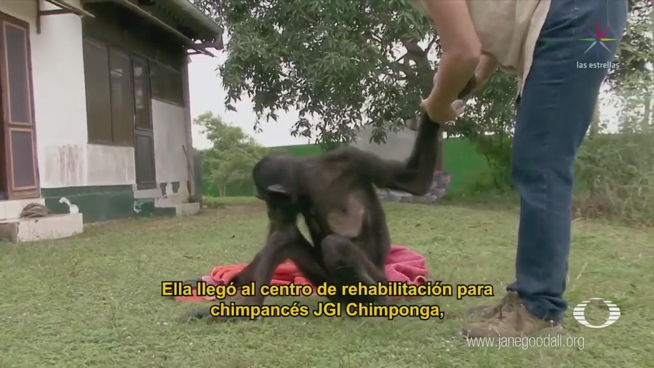 Evolución Wounda Santuario Chimponga Congo Chimpancé