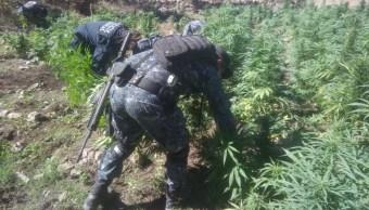Localizan y destruyen 24 mil plantas de marihuana en Tequila, Jalisco