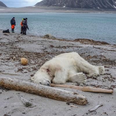 Matan a tiros a oso polar que atacó a guía turístico