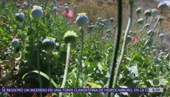 México, tercer lugar mundial en siembra de amapola
