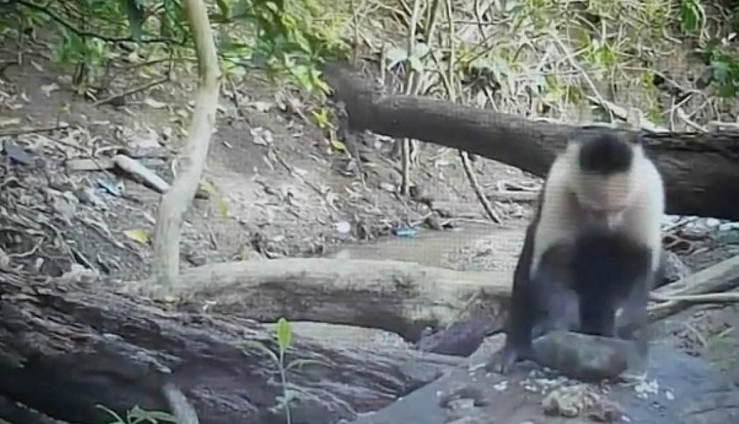 monos-edad-de-piedra-capuchino-video-piedras-herramientas