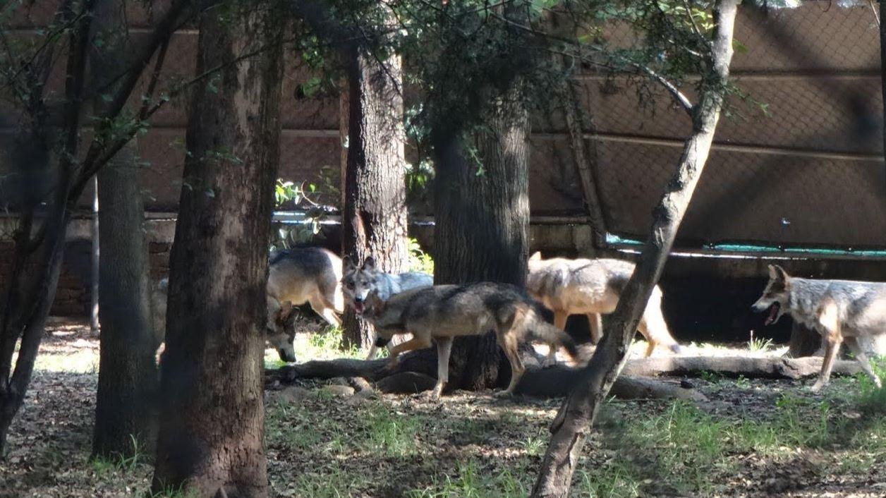 Nacen ocho crías de lobo mexicano