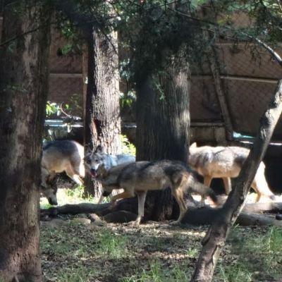 Nacen ocho crías de lobo mexicano en el Zoológico Los Coyotes, CDMX