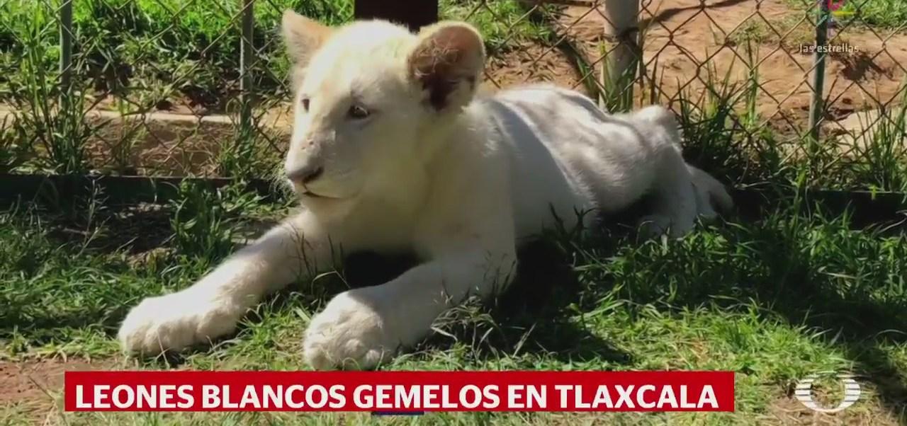 Nacen dos leones blancos en zoológico de Tlaxcala