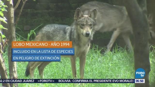 Nacen ocho cachorros de lobo mexicano en zoológico de Coyoacán