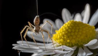 Arañas Pueden volar Usando Electricidad Campo Eléctrico