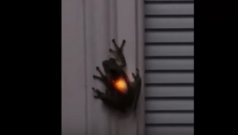 Rana traga luciérnaga Brilla por dentro