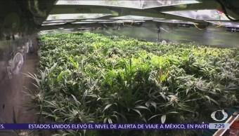 Se dividen opiniones en Gran Bretaña por legalización de la marihuana
