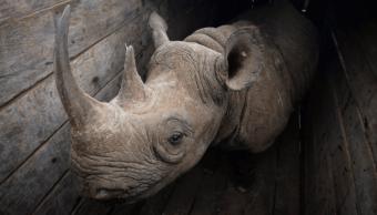 Mueren 7 rinocerontes negros tras traslado Kenia