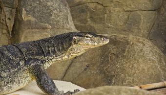 video-impresionante-pelea-cobra-y-lagarto-sudafrica-parque-nacional
