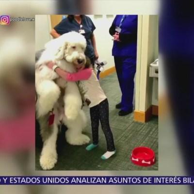 Zammy, el perro Sheepadoodle gigante da terapia a niños en hospital