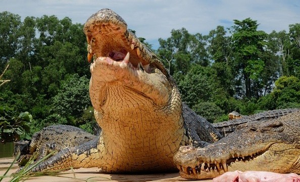 Hallan cadáver de hombre devorado por cocodrilos en Cancún