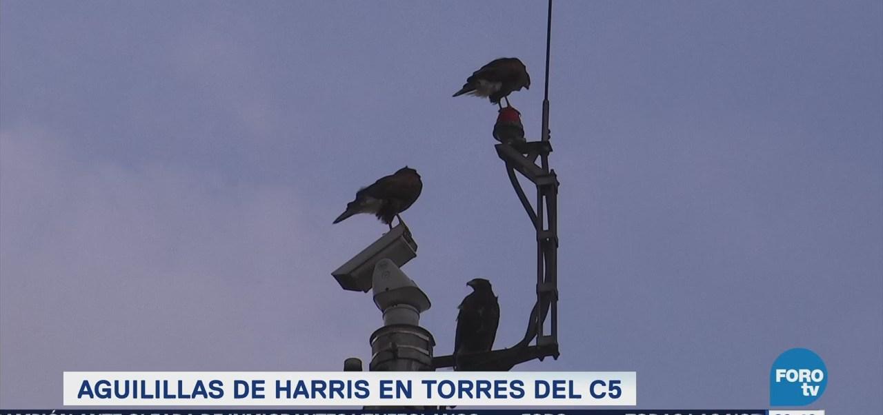 Aguilillas De Harris Torres C5 Ciudad de México