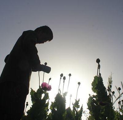 Congreso de Guerrero propone reformas para legalización de cultivo de amapola