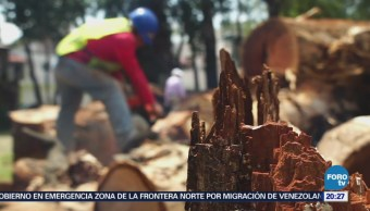 Analizarán árboles de eucalipto para evitar riesgos