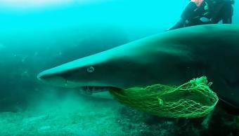 Buzo Rescata Tiburón Toro Australia, Buzo Rescata Tiburón, Tiburón Atorado Red De Pesca, Redes De Pesca, Tiburón Toro, Tiburones