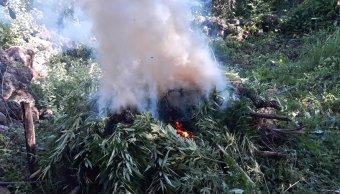Destruyen 10 plantaciones de marihuana en Tequila
