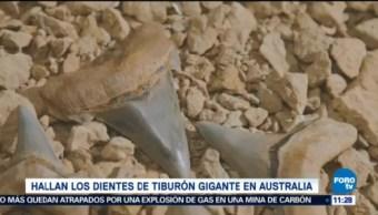 Extra Extra Hallan Los Dientes De Tiburón Gigante Australia Tiburón Prehistórico