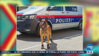 Perros policías usan zapatos contra el calor