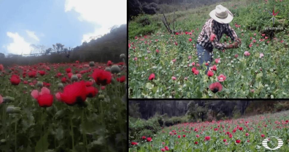 Despenalización de amapola da esperanza a campesinos de Guerrero
