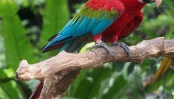 Nacen dos crías de guacamaya roja en Chiapas