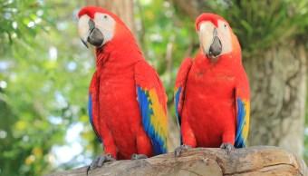 guacamayas-rojas-trafico-ilegal-especies