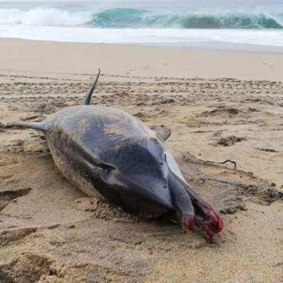 Hallan delfín asfixiado por un pañal en playas mexicanas