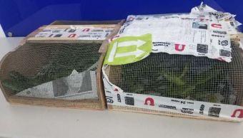 Policía Federal asegura iguanas en aeropuerto de Tijuana