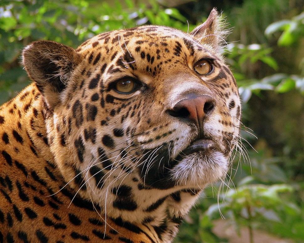 jaguar-trafico-ilegal