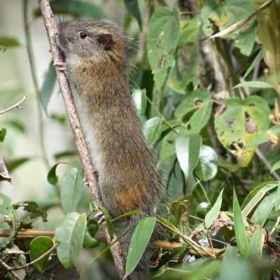 La 'rata del bambú', una especie rara de roedor, reaparece en Machu Picchu