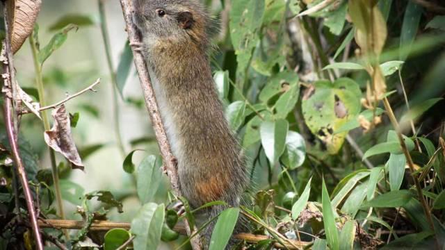 La rata del bambú reaparece en área de Machu Picchu