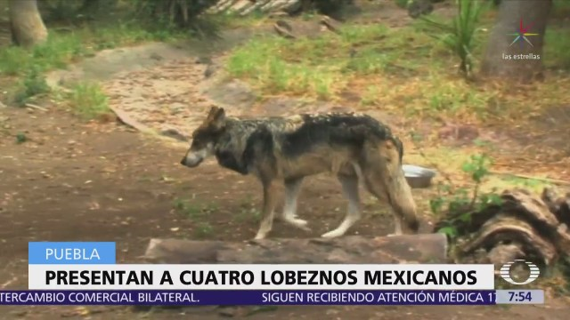 Lobos mexicanos nacidos en Puebla son presentados