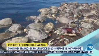 Localizan Muertas Tortugas En Oaxaca Puerto Escondico