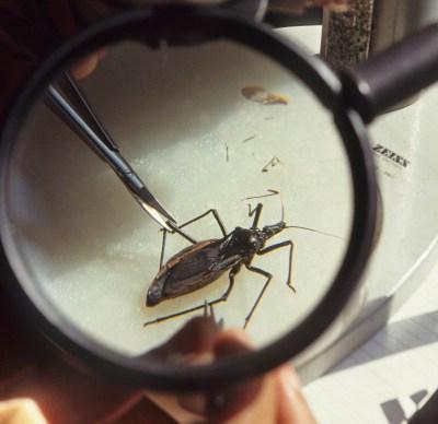 Reportan 500 casos del mal de Chagas en Yucatán
