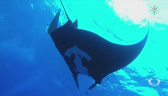 Mantas Gigantes Regresan Baja California Sur