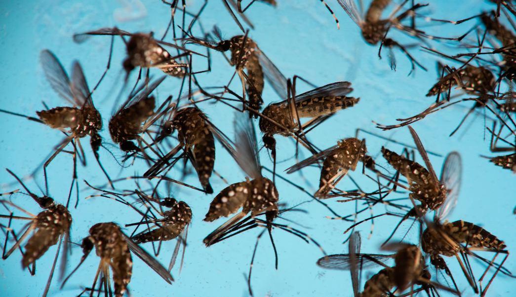 mosquito aedes aegypti peligro