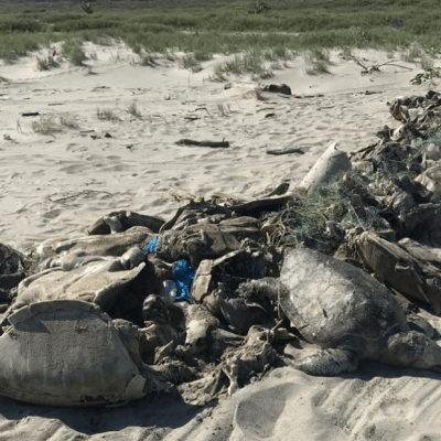 300 tortugas murieron en Oaxaca por red de pesca prohibida