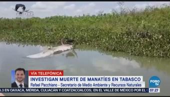Muerte de manatíes en Tabasco, aún desconocida Pacchiano