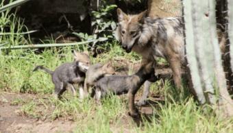 Nacen cuatro ejemplares de lobo gris mexicano en Puebla