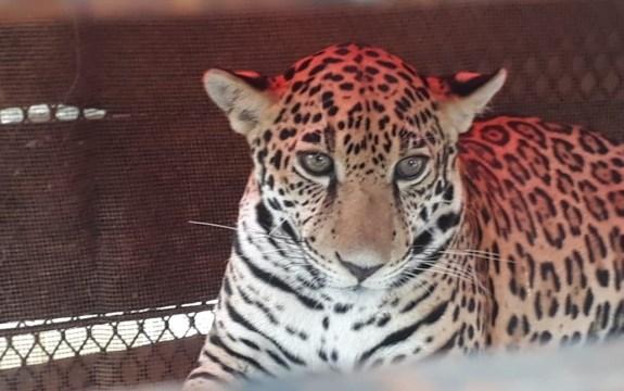 Rescatan a jaguar dentro de una casa en Tulum