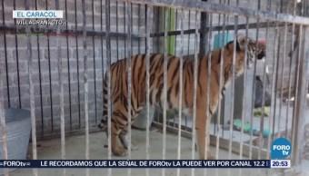 Rescatan Tigre Bengala Abandonado Guanajuato Casa