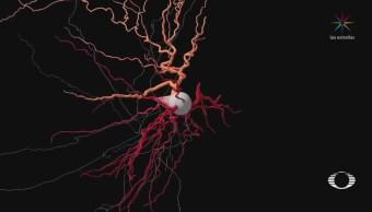 Rosa mosqueta, la nueva clase de neurona