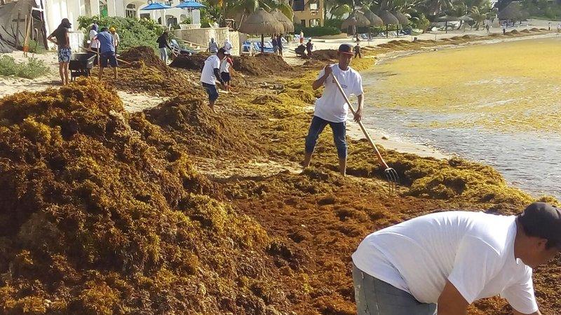 sargazo es usado como fertilizante por agricultores de tulum quintana roo